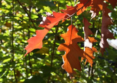 rot gefärbtes Eichenblatt im Herbst