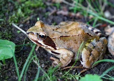 Frosch, kleiner Grasfrosch auf dem Waldboden