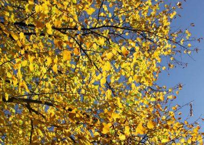 leuchtend gelbe Herbstblätter des Laubbaumes von der Sonne durchflutet mit Blick in den blauen Himmel