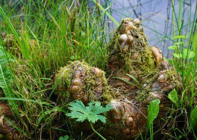 Luftwurzeln der Sumpfpflanze, Teich im Wald