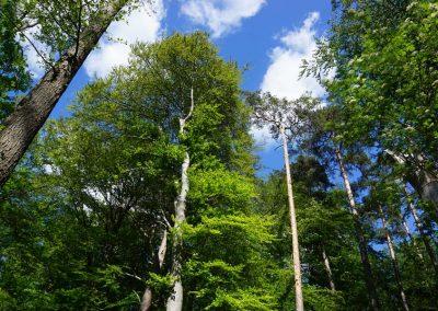 Laubbäume, Baumkronen von unten in den blauen Himmel fotografiert