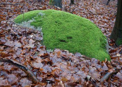 Moos, flächendeckend auf einem Stein, rundherum nasse braune Blätter von Buchen, Waldstück bei Binz auf Rügen