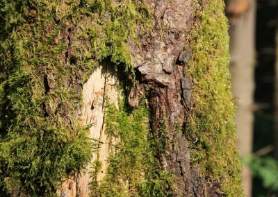 Moosflechten am Baum, Detailfotografie der bewachsenen Baumrinde