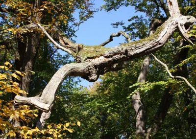 Naturkunst im Wald entdecken, ein kahler dicker Ast windet sich durch eine Lichtung zwischen zwei Laubbäumen