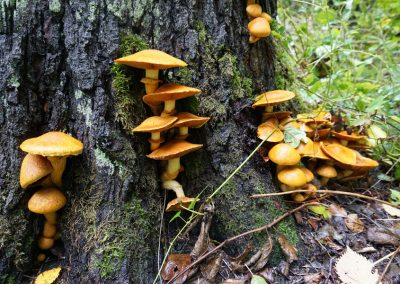 im Laubwald: Pilzgruppen am Fuße eines Baumstamm wachsend, Spreewald im Oktober