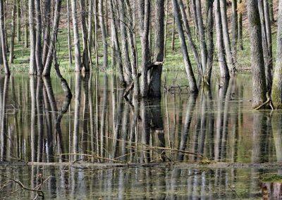 Sumpflandschaft im Wald, Bäume im Morast stehend, Spiegelung der Baumstämme im See
